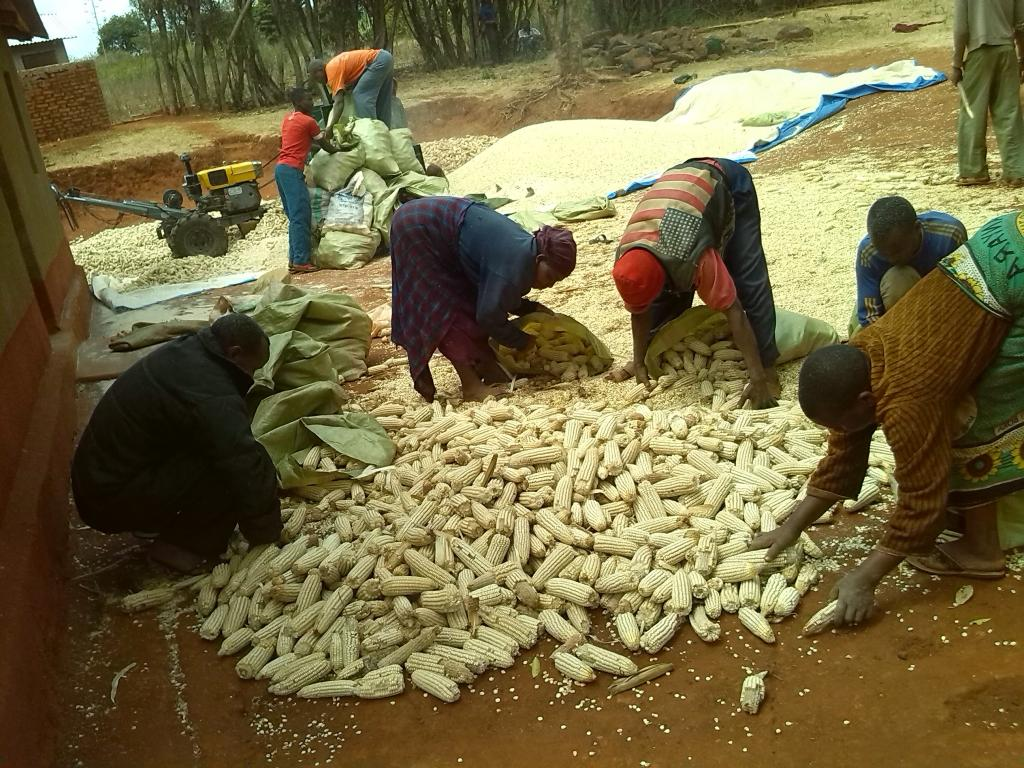 Farmers preparing maize for shelling